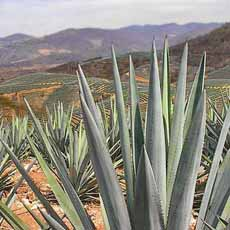 Blue Agave Field