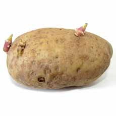 Sprouted Potato