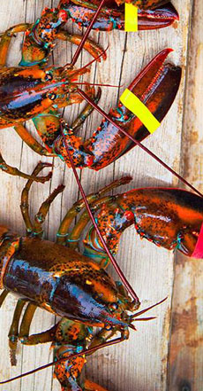 live lobsters